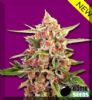 Bomb Cherry Bomb Female 10 Marijuana Seeds